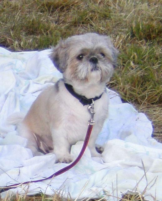 Frimousse en coupe courte - Forum de discussion spécialisé sur le Shih-tzu, une race de chien ...