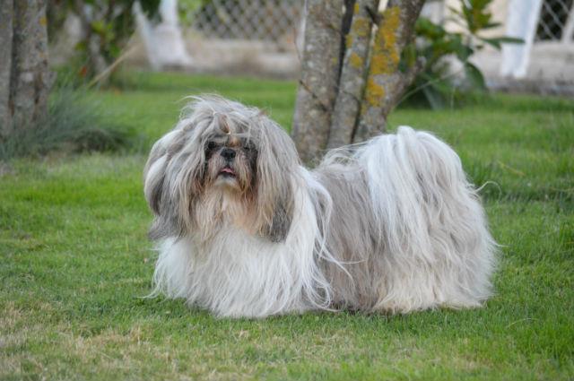 Güan -Ly coupe courte - Forum de discussion spécialisé sur le Shih-tzu, une race de chien tibetain