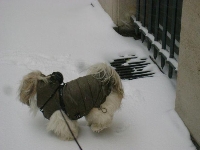 Manteau pour shih tzu - manteau shih tzu sur EnPerdreSonLapin