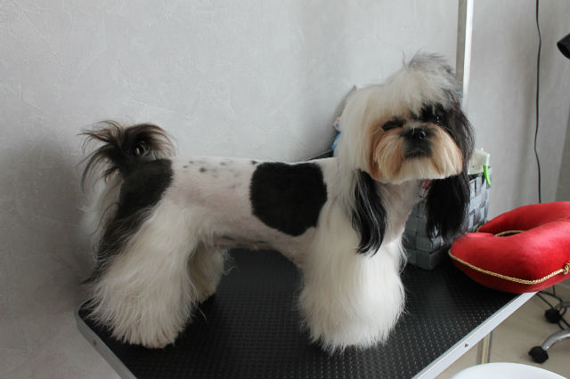 Gloria coupe pantalon forum de discussion sp cialis sur le shih tzu une race de chien tibetain - Coupe pour chien shih tzu ...